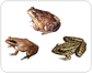 examples of amphibians [1]
