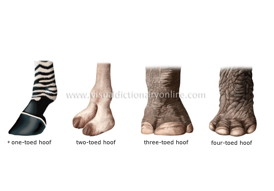 examples of hooves